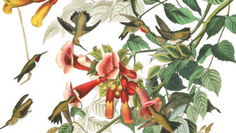 Plate-47,-Ruby-Throated-Humming-final